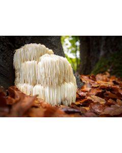 Lions Mane Mushroom Powder 100gram