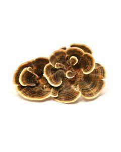Turkey Tail Mushroom Organic Powder 100gram